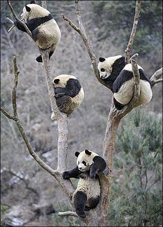 jaaj que lindos los panditas xD todos encaramados en los arbolitos