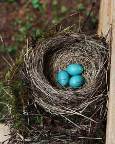 Robin eggs are so cute. but when you find them under the tree broken ...sad story