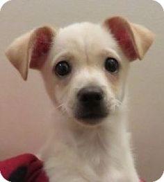 St Petersburg, FL - Cardigan Welsh Corgi/Chihuahua Mix. Meet Augustus!, a puppy for adoption. http://www.adoptapet.com/pet/14849603-st-petersburg-florida-cardigan-welsh-corgi-mix