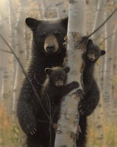 Black Bear Cubs - Mama Bear Shower Curtain by Collin Bogle Nature Art - by Bear Paintings, Wildlife Paintings, Wildlife Art, Tattoo Mama, Cubs Tattoo, Baby Bear Tattoo, Photo Ours, Baby Animals, Cute Animals
