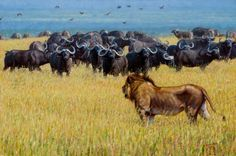 """Outnumbered - John Banovich, Limited Edition Textured Giclée Canvas  Gallery Edition: • 25 s/n plus 5 Artist Proofs • Canvas: 15"""" x 22"""" - $1,050 • Artist Proof - $1,260, """"In any lion cape buffalo confrontation the victor is aways the one who outnumbers their opponent. But when a single lion come across a massive herd , it is he who may have to make a hasty retreat. If the buffalo are in a relaxed mood, they just might let him pass unharmed."""""""