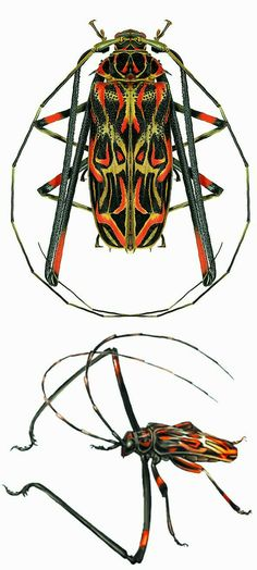 The 'Harlequin beetle' Acrocinus longimanus, male Beetle Insect, Beetle Bug, Cool Insects, Bugs And Insects, Longhorn Beetle, Instalation Art, Cool Bugs, Beautiful Bugs, Patterns In Nature