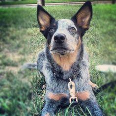 Brutus - Australian Cattle Dog - Blue Heeler - Queensland Heeler