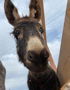 Fluffy Animals, Cute Animals, Mules Animal, Old West Town, Cute Donkey, Llamas, Animal Rights, Animals Beautiful, Fur Babies