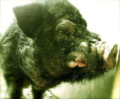 The Devil In The Shape of A Hog: Three Encounters With Satanic Pigs