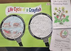 Life cycles are one of the great science concepts taught somewhere in every school's science curriculum. In my school, we look at the life cycles of plants and crayfish in my third grade class, while other grades study the life cycles of chickens, butterflies, and fish.