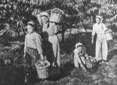 Bursa şeftalisi 1958.