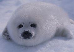 "justbabyharpseals: ""hi sweetie! *waves at seal* """