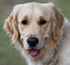 Golden retriever puppy love en 2018 pinterest chien peintre animalier et peinture - Dessin golden retriever ...