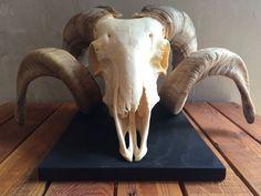 Widder Schafbock Schafschädel Tierpräparat Schädel Deko | eBay