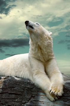 Polar bear - ours polaire ☮ - - Nature Animals, Animals And Pets, Cute Animals, Wild Animals, Baby Animals, Baby Pandas, White Polar Bear, Polar Bears, Photo Animaliere