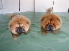 My Chow hated the water.Mine loves it. Perros Chow Chow, Chow Chow Dogs, Fluffy Animals, Cute Baby Animals, Animals And Pets, Cute Puppies, Cute Dogs, Dogs And Puppies, Beautiful Dogs