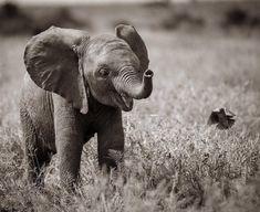 Elephants photos, baby elephants, save the elephants, african elephant, ele Baby Animals Pictures, Cute Animal Pictures, Animals And Pets, Funny Animals, Baby Elephant Pictures, Elephants Photos, Save The Elephants, Elephants Playing, Elephant Photography