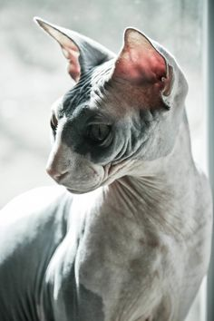 •♥•✿ڿڰۣ(̆̃̃•Aussiegirl  #Cats The beautiful Sphynx cat I want one...or two...or...