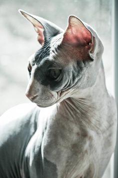 •♥•✿ڿڰۣ(̆̃̃•Aussiegirl  #Cats The beautiful Sphynx cat I want one...or two...or...