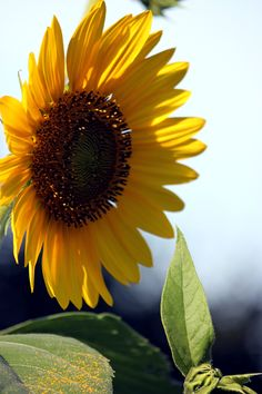 ✮ Sunflower..These are so beautiful in people's yards. Must get some to plant for next year.