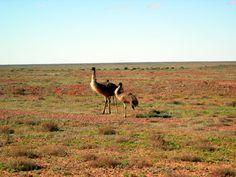 Emus in the Flinders Ranges Ranges, Giraffe, Wildlife, Australia, Landscape, Country, Animals, Felt Giraffe, Scenery