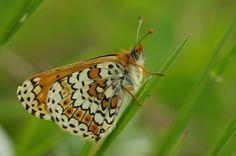 Wegerich-Scheckenfalter (Melitaea cinxia) - ehem. Militärgebiet (Brönnhof) bei Schweinfurt, 17. Mai 2014 Mai, Butterflies, Pictures, Beautiful, Photos, Butterfly, Grimm