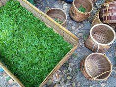 Зеленое золото Киото #зеленыйчай #сенча #сэнтя #гёкуро #чай #мидокоро #ЖурналМидокоро #Киото #Япония  Авторские туры и экскурсии по всей Японии tour@midokoro.jp www.midokoro.com