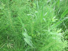 Su nombre científico es equisetum arvense que traducido del latín viene a ser cola de caballo. Popularmente se conoce como equiseto y equiseto menor. Es posible encontrarla por todo el mundo except…