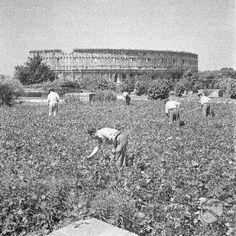 Gruppo di uomini al lavoro in un grande orto di guerra coltivato nel parco del colle Oppio data 10.06.1942