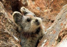 Ili Pika, rare animal. Real life teddy bear.