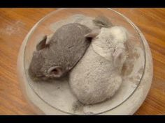 Only thing better than a chinchilla taking a dust bath???  Two Chinchillas taking a dust bath