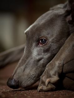 'Blue' - Rescued greyhound © 2012 Terri Jacobson Photography.