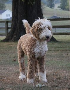 Goldendoodle... My future family dog!