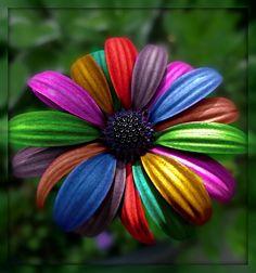 The rainbow Geranium