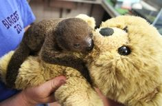 """Sjakie the baby sloth hugging his teddy bear """"mama"""". Too much cute. Can't breathe."""