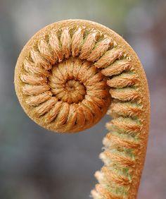Fractal spiral in nature - Fern fiddlehead (Sadleria cyatheoides) - Fibonacci spiral