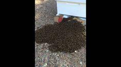 Ground Bee Swarm Walks Into Empty Hive