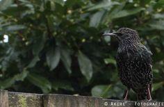#spreeuw #vogel #bird  http://fotografie.akire.nl