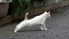 のび~っとストレッチする猫(B-003)猫写真-横浜 #猫写真