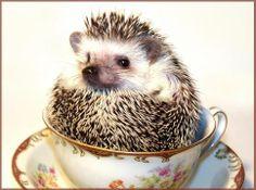 Hedgehog in teacup.