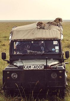 Kenya Safari with Cheetahs on top...                                                                                                                                                     Más