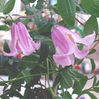 Clematis int. Baby Rose