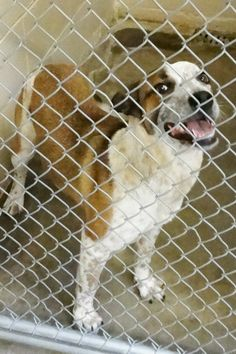 SAFE --- URGENT at KILL SHELTER - Cage 70-Day   Red Merle Red Heeler, Female (Spayed) 1 Yr  Impound 1/14/14 Due out 1/21/14   Roswell Animal Control  705 E. McGaffey; Roswell, NM  575-624-6722 https://www.facebook.com/photo.php?fbid=245164088984929&set=pb.176246809209991.-2207520000.1389963078.&type=3&theater