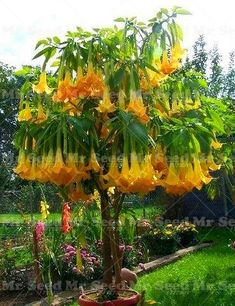 100pcs Bonsai flower Brugmansia Datura Seeds Rare Flower Seeds Potted Plants Angel's Trumpets Bonsai Seed For Home Garden