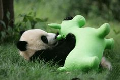 Wow, what's this? Baby panda playing with green cow(?) at China's Chengdu Research Base of Giant Panda Breeding.