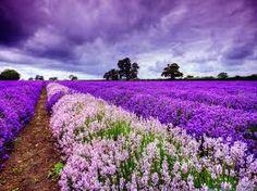 #Lavender fields #Provence #France