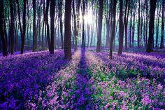 Pretty purple fields of flowers