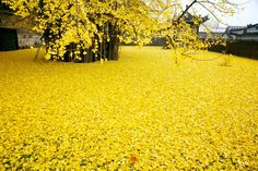 This ginkgo beautiful tree drops a spectacular ocean of golden leaves every autumn. This ginkgo tree is located at the Gu Guanine Buddhist temple Kew Gardens, Ginko Tree, Maidenhair Tree, Dame Nature, Colossal Art, Golden Leaves, Golden Tree, Thing 1, Old Trees
