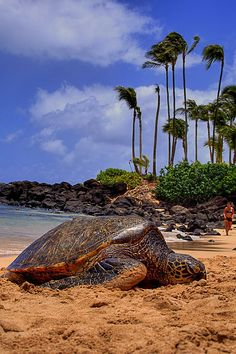 Turtles at North Shore, Oahu, Hawaii