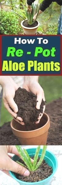Container Gardening Advices On How To Grow Your Own Aloe Vera Plant Herb Garden, Lawn And Garden, Garden Plants, Indoor Plants, House Plants, Garden Web, Balcony Garden, Aloe Vera Plant Indoor, Garden Design