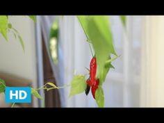 ▶ Como plantar Pimenta Dedo de Moça - YouTube