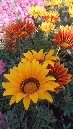 #yellow_flower_2020 Latest Dpz, Flower, Yellow, Plants, Plant, Flowers, Planting, Planets, Gold