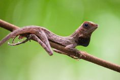 An earless agamid  (Aphoniotis fusca) perched on a branch displaying its throat flap.