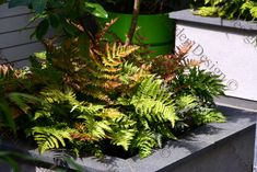 One of my all-time favourite ferns Dryopteris erythrosora (Copper Shield Fern) semi-evergreen depending on the location it's great as a base in raised planters or en masse for impact. Shown here in a secret garden I designed.  #GardenDesign #Gardendesigner #Lancashire #Derbyshire #Cheshire #GreaterManchester  #UK & #Europe Raised Planter, Derbyshire, Evergreen, Design Projects, Garden Design, My Design, All About Time, Planters, Uk Europe